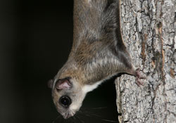 Northern Flying Squirrel Minneapolis