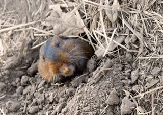 Northern Pocket Gopher St Cloud