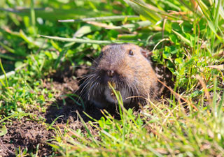 Plains Pocket Gopher Minnesota